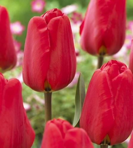 Tulips-6ct