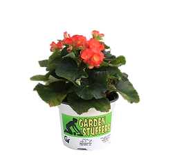 Reiger Begonia, orange, garden stuffers