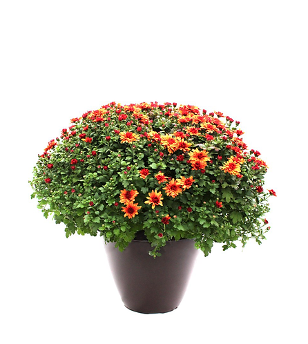 "12"" Patio Mum-Assorted Colors"
