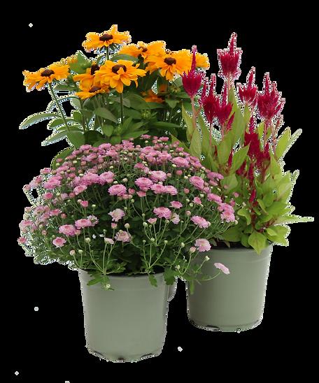 1 gallon fall annuals