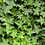 Thumbnail: English Ivy-Assorted Colors
