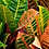 Thumbnail: Croton-Assorted