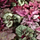 Thumbnail: Rex Begonia-Assorted Colors