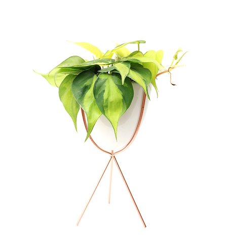 Philodendron-Heart Leaf