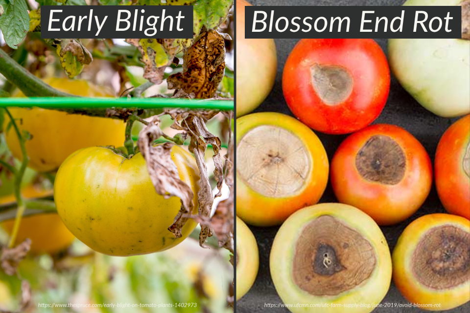 Blossom End Rot and Early Blight on Tomatoes