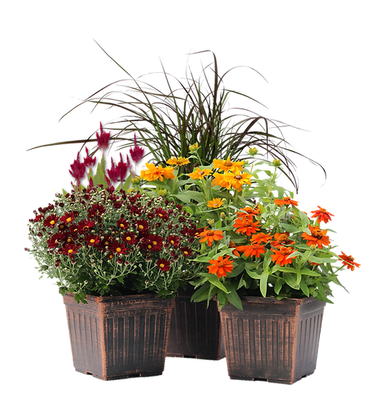 9 inch fall annuals