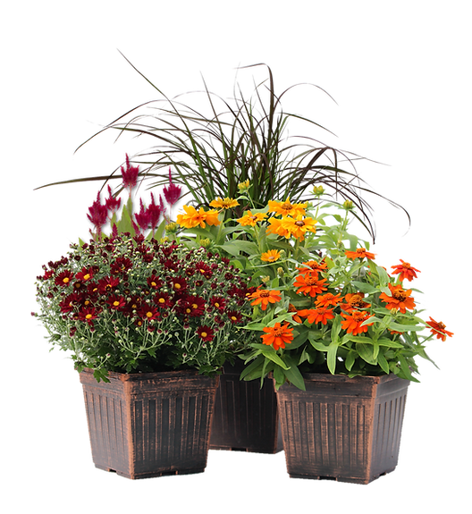9 inch fall annuals