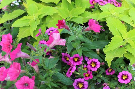 Coleus, Calibrachoa, petunia