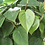 Thumbnail: Philodendron-Heart Leaf