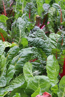 home grown swiss chard