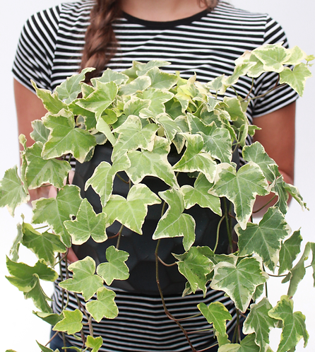 English Ivy-Assorted Colors