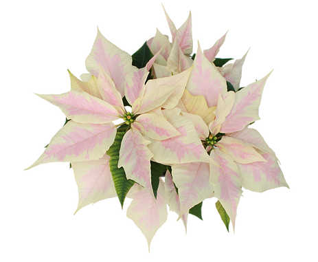 Marble Poinsettia