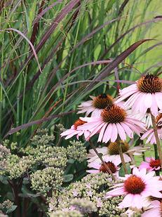fall garden, sedum, ornamental grass, purple coneflowers