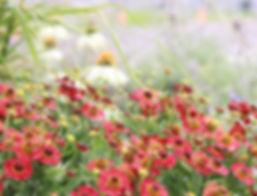 helenium, echinacea, ornamental grass