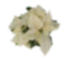 Stardust Poinsettia