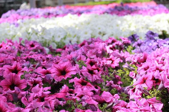 4pk annual petunias