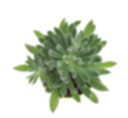 fuzzy succulent plant