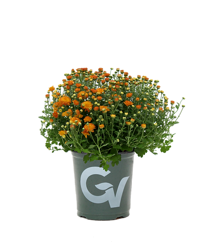 Mums-1 gallon Assorted Colors