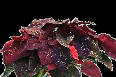 Sugarplum Poinsettia