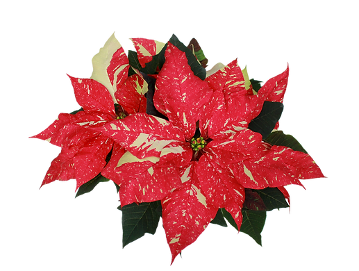 Jingle Bell Poinsettia