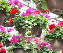 Geranium Hanging Baskets