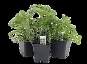 herbs, basil, cilantro, thyme, sage