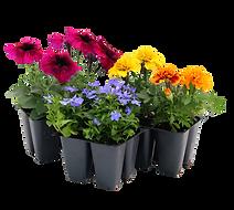 4pk annuals, petunias, marigold, lobelia