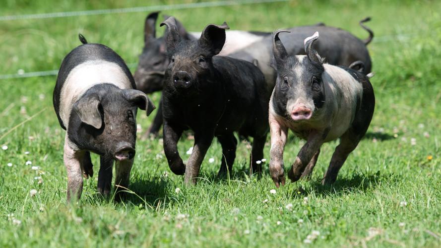 Hauseigene Schweine