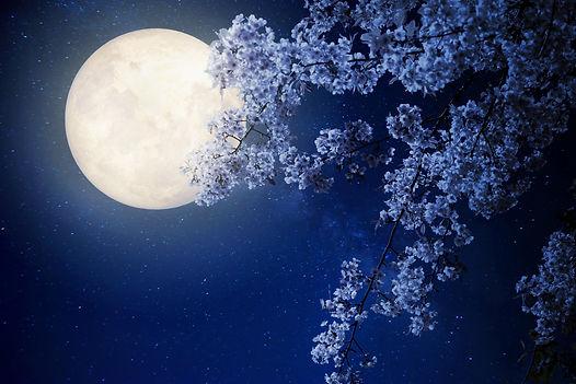 Beautiful cherry blossom (sakura flowers