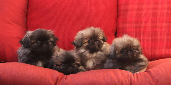 Group Photo - Glorys Litter 10 weeks cro