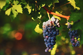 grape-vineyard-wine-winery-harvest-grape