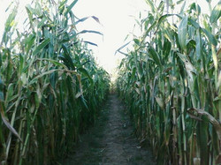 cornpath.jpg