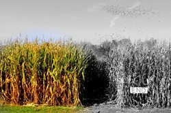 corn field colors.jpg