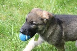 Garus - pup