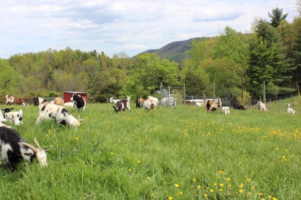 Syncope Falls Farm Fainting Goats and Karakachan LGDs
