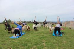 thumbnail_Goat Yoga5