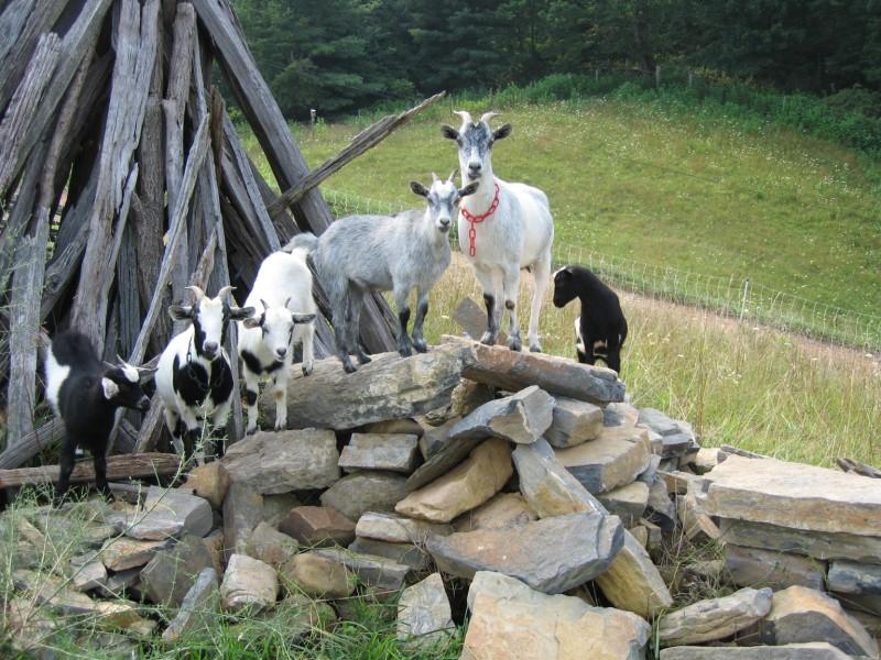 goats_on_rocks