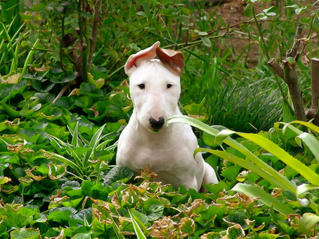 And what's about Cloning your Bull Terrier?