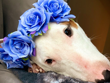Happy and Healthy Bull Terrier during This Labor Day