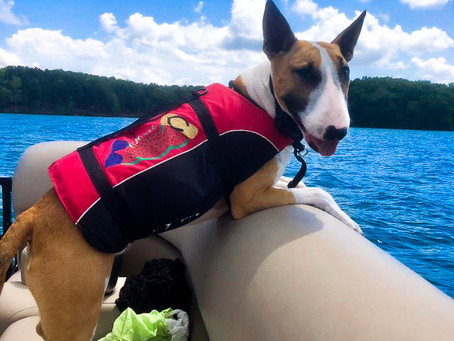 How to Keep Your Bull Terriers Safe During Summer