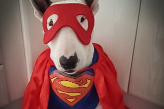 Spooky Halloween and Bull Terriers