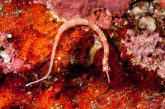 peixe cachimbo, da família dos cavalos marinhos