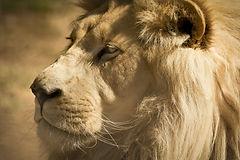 Canva - White Lion Face.jpg