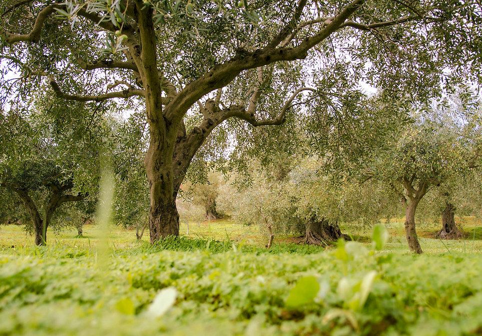 Le piantagioni dell'Oro di Calamigna a Ventimiglia di Sicilai