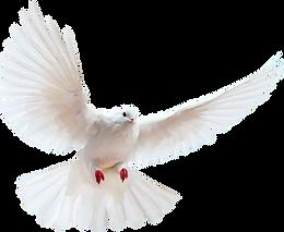 white-dove-transparent-background.webp