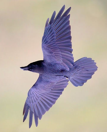 purple%20bird_edited.jpg