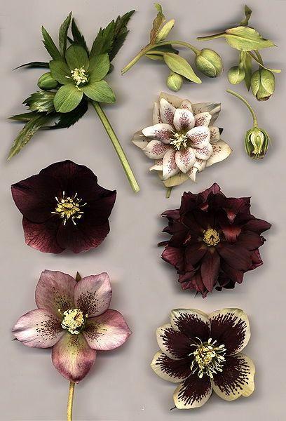 Hellebore wedding flowers