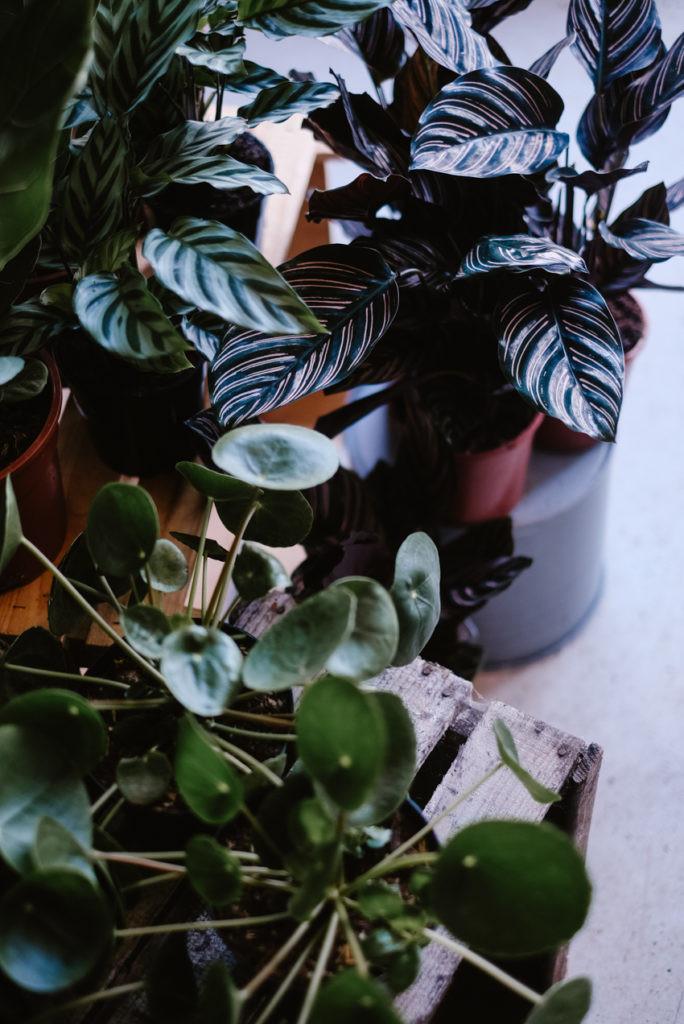 Calathea house plants