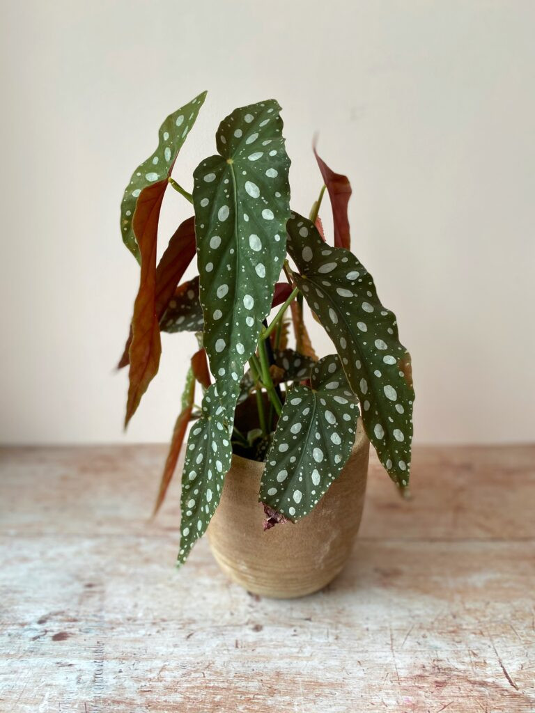Spotted Begonia Plant Bristol