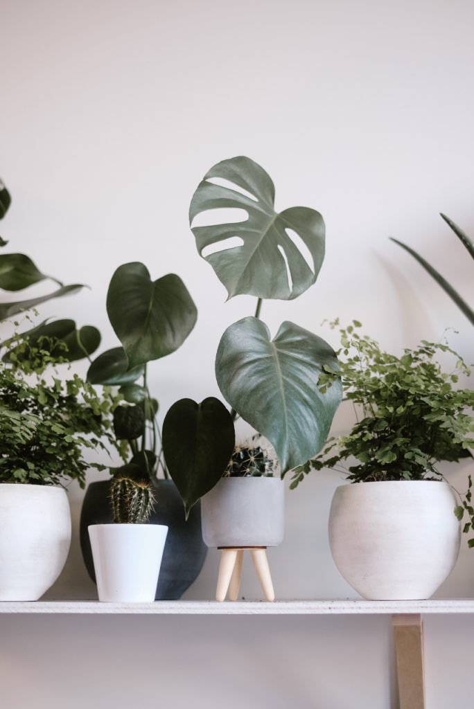 Monstera in planters